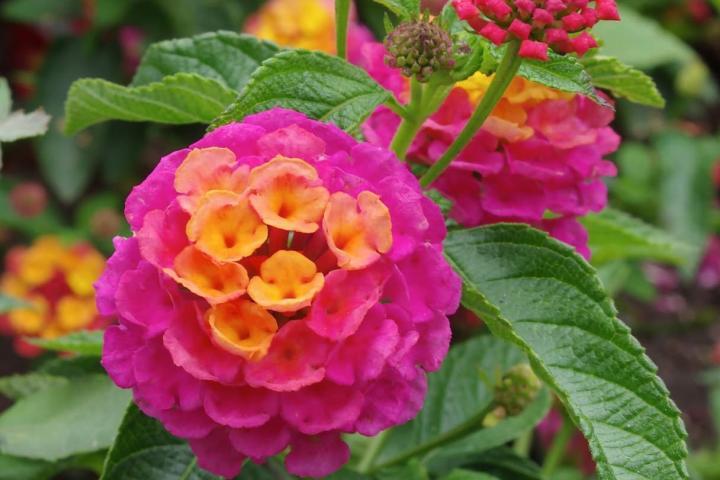 Hoa ngũ sắc (hồng đậm) - 0