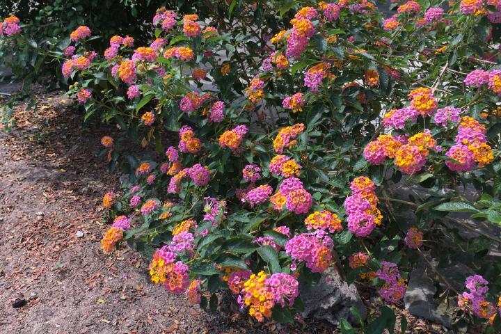 Hoa ngũ sắc (hồng nhạt) - 0