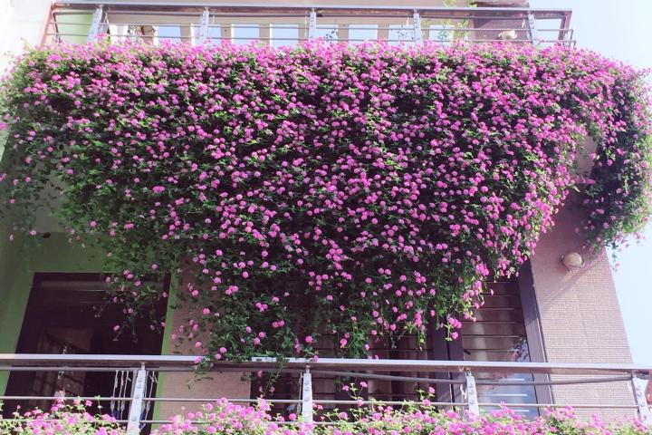 Hoa ngũ sắc (tím) - 0