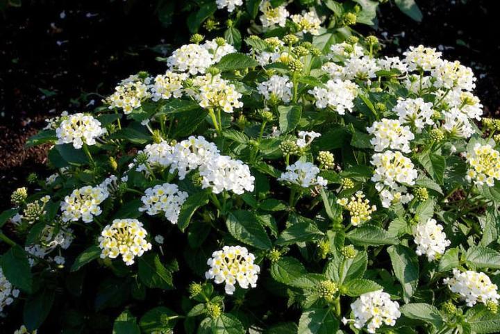 Hoa ngũ sắc (trắng) - 0