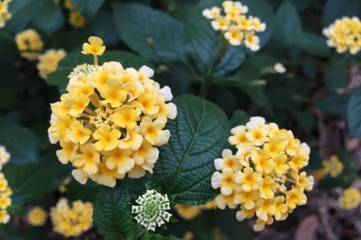 Hoa ngũ sắc (vàng chanh) - 0
