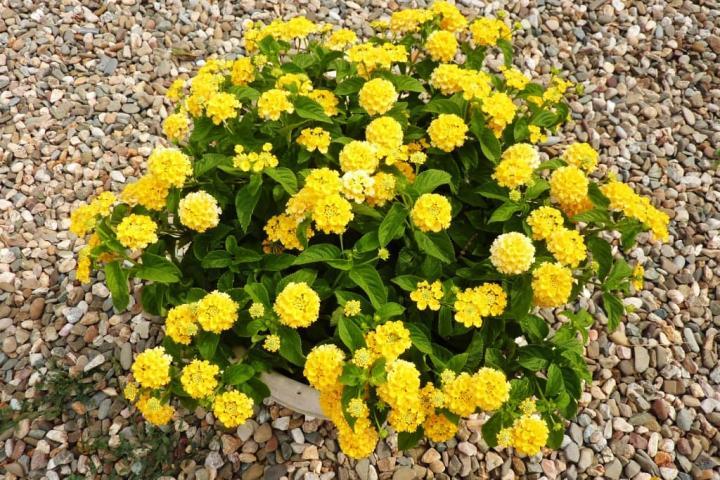 Hoa ngũ sắc (vàng nghệ) - 0