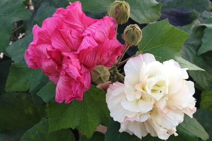 Hoa phù dung - 0