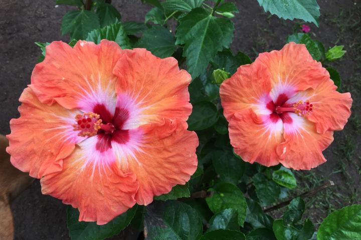 Hoa râm bụt (cam, đơn) - 0