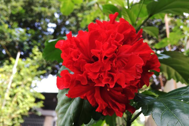 Hoa râm bụt (đỏ, kép) - 0