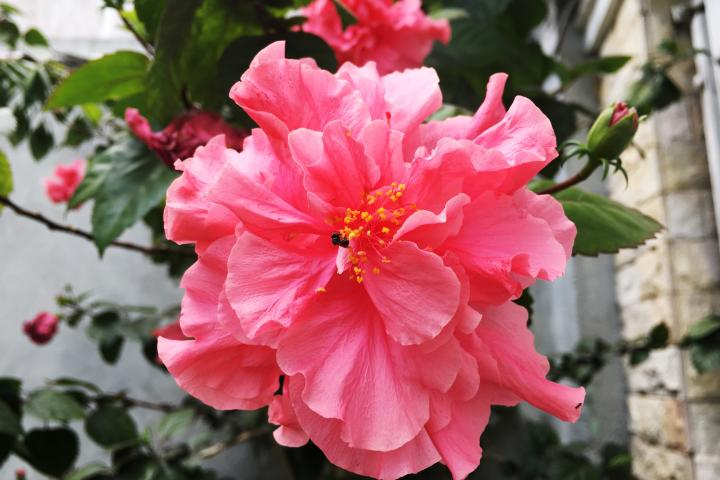 Hoa râm bụt rừng (hồng, kép) - 0
