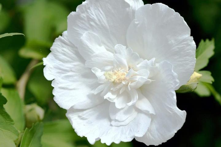 Hoa râm bụt (trắng, kép) - 0