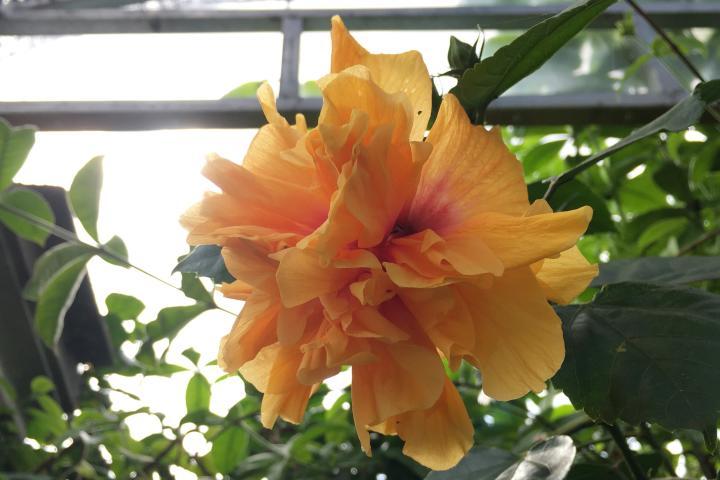 Hoa dâm bụt (vàng cam, kép) - 0
