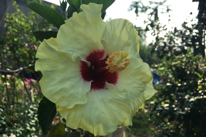 Hoa râm bụt (vàng nhạt, đơn) - 0