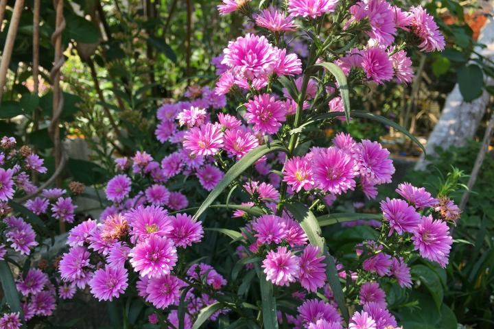 Hoa thạch thảo (hồng, kép) - 0