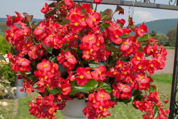 Hoa thu hải đường (đỏ, đơn) - 0