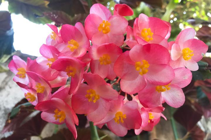 Hoa thu hải đường (hồng, cao, đơn) - 0