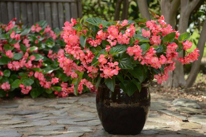 Hoa thu hải đường (hồng, đơn) - 0
