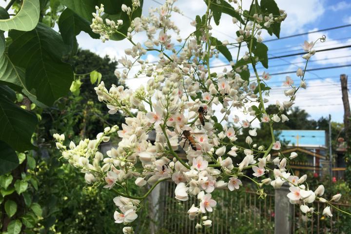 Hoa Tigon (trắng) - 0