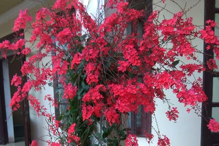Hoa xích xà - 0