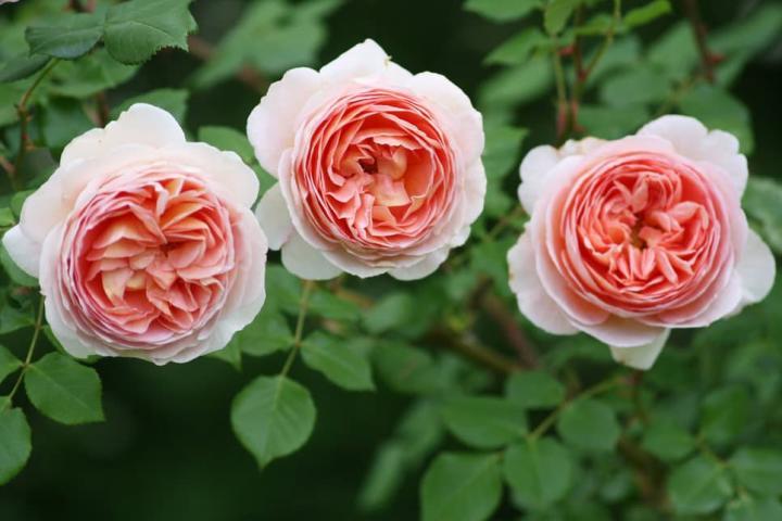 Hoa hồng Abraham Darby - 0
