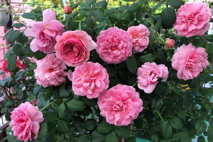 Hoa hồng Alexander of Kent - 0