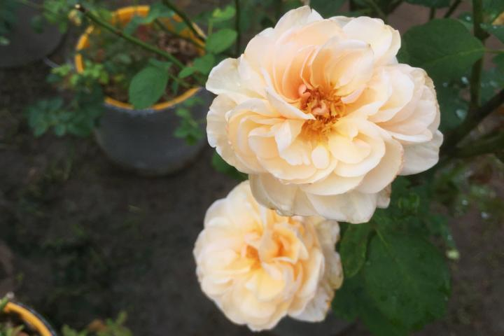 Hoa hồng Alexandrine - 0