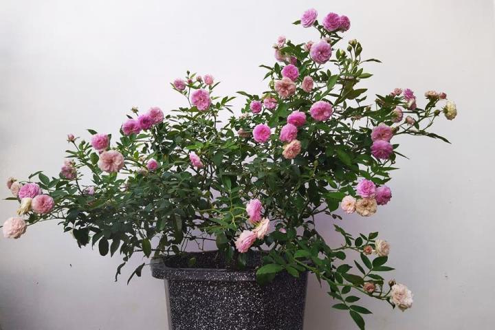 Hoa hồng Aunt Margy - 0