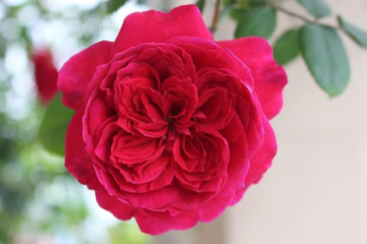 Hoa hồng Autumn Rouge - 0