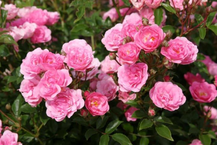 Hoa hồng Bayernland - 0