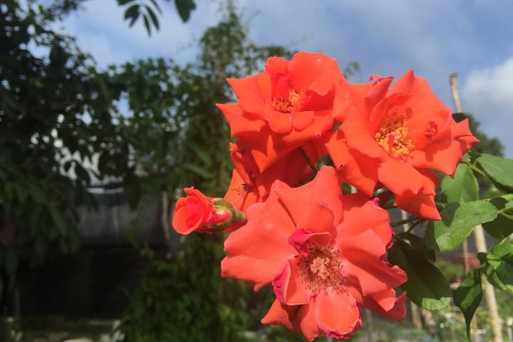 Hoa hồng Blaze of Glory - 0
