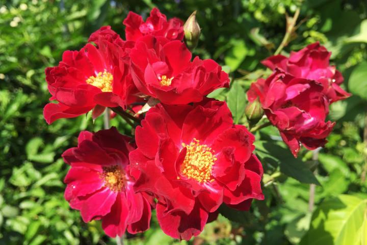 Hoa hồng Cardinal Hume - 0
