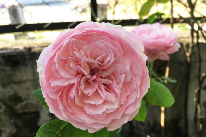 Hoa hồng Carey - 0