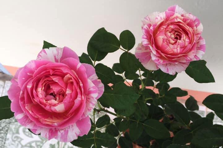 Hoa hồng Claude Monet - 0