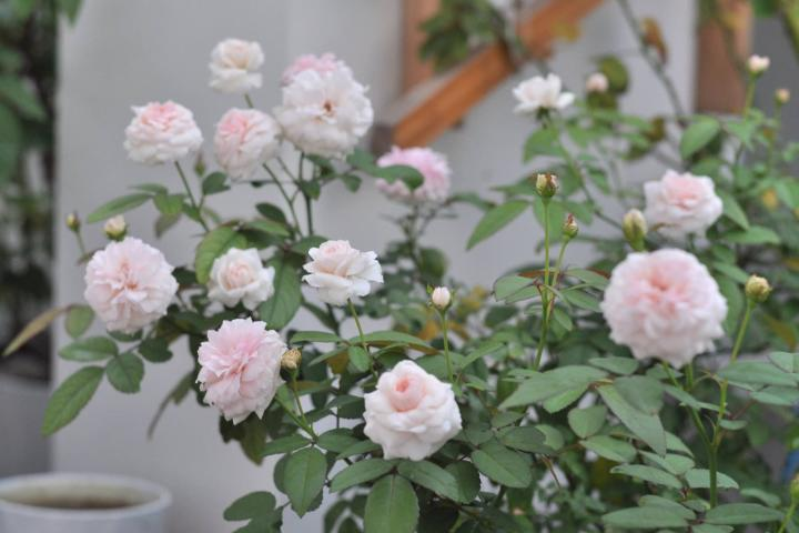 Hoa hồng Clothilde Soupert - 0