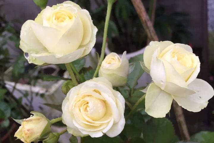 Hoa hồng Creamy Eden - 0