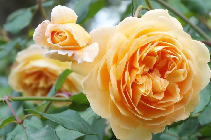 Hoa hồng Crown Princess Margareta - 0