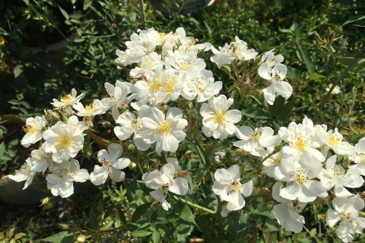 Hoa hồng Darlow's Enigma - 0