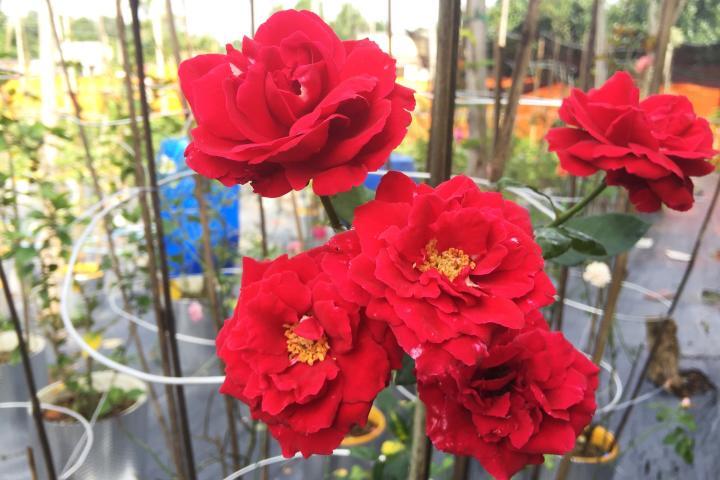 Hoa hồng Don Juan - 0