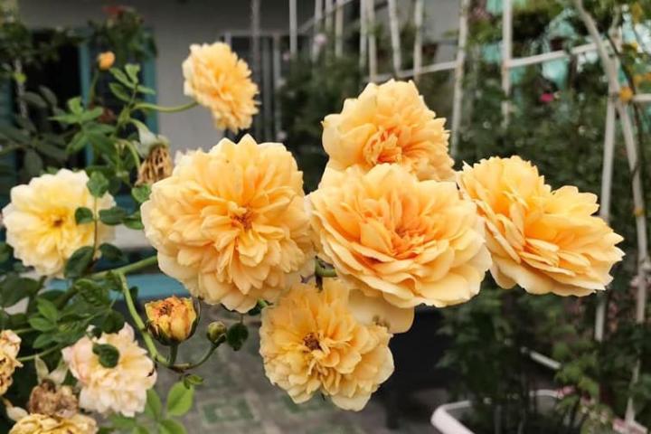 Hoa hồng Golden Celebration - 0