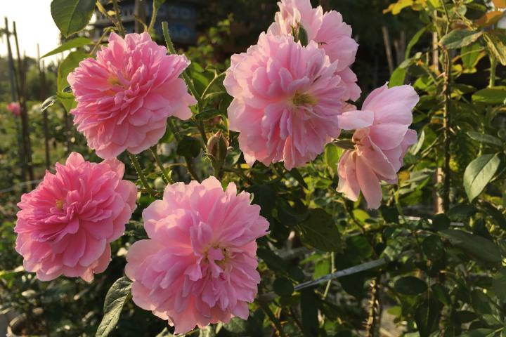 Hoa hồng Harlow Carr - 0