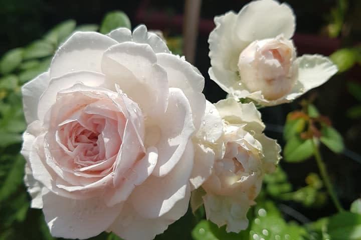 Hoa hồng Herzogin Christiana - 0