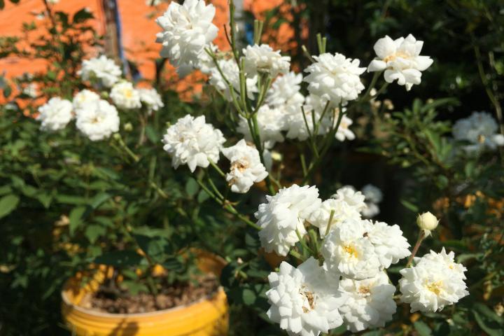 Hoa hồng bạch trà - 0