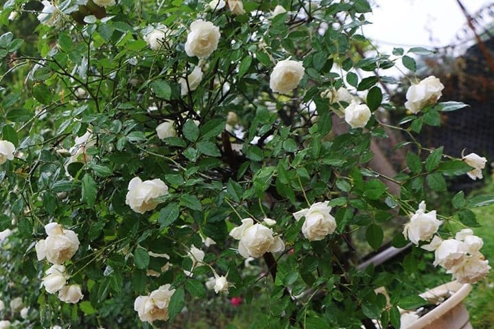 Hoa hồng cổ bạch ho - 0