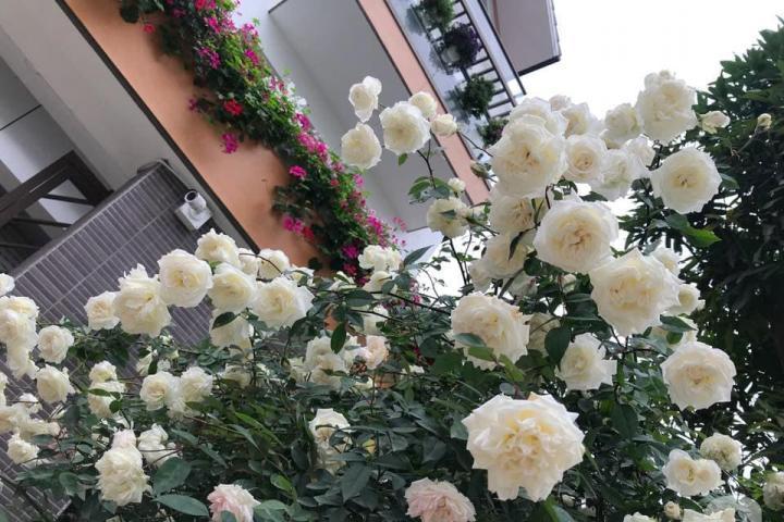 Hoa hồng cổ bạch xếp - 0