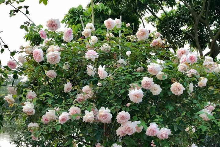 Hoa hồng cổ đào - 0