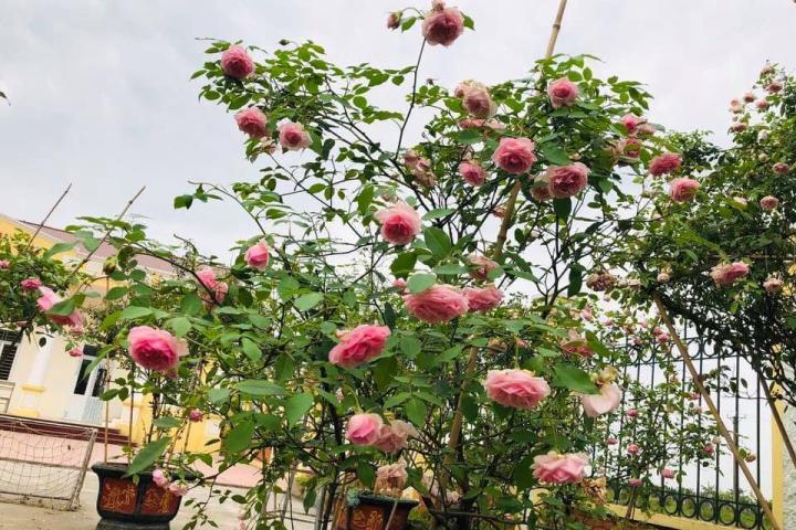 Hoa hồng cổ điều - 0