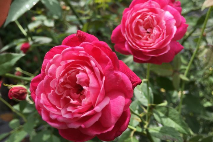 Hoa hồng cổ Huế - 0