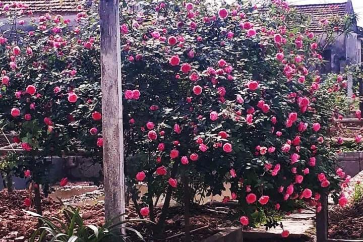 Hoa hồng cổ Sapa - 0
