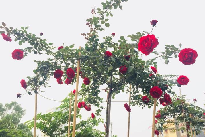 Hoa hồng cổ Sơn La (đỏ) - 0