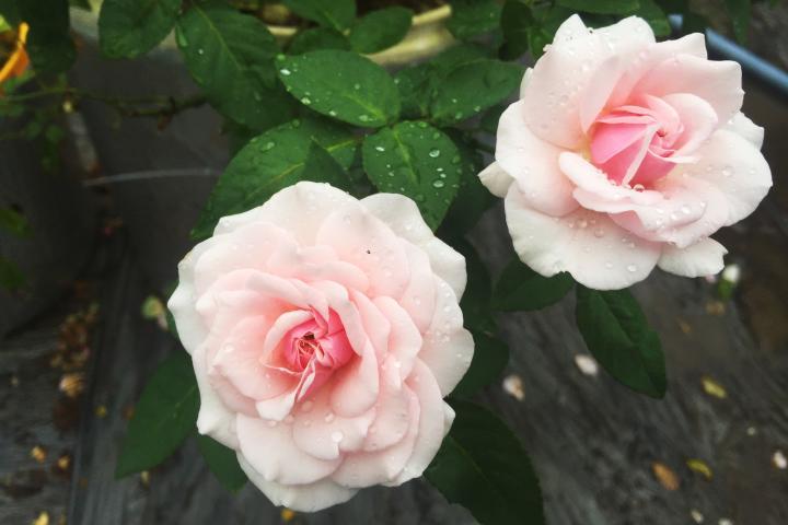 Hoa hồng cổ Vân Khôi - 0
