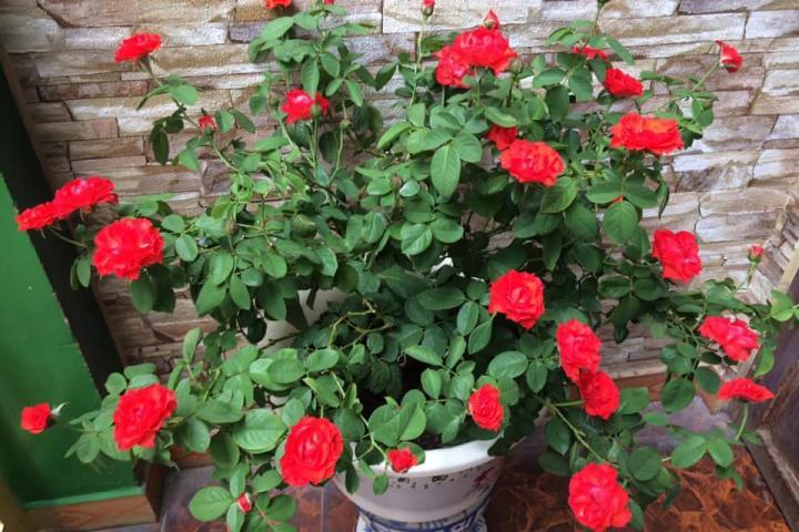 Hoa hồng lửa Pháp - 0