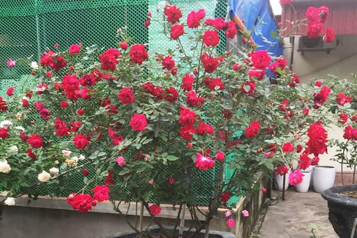 Hoa hồng quế son (kép) - 0