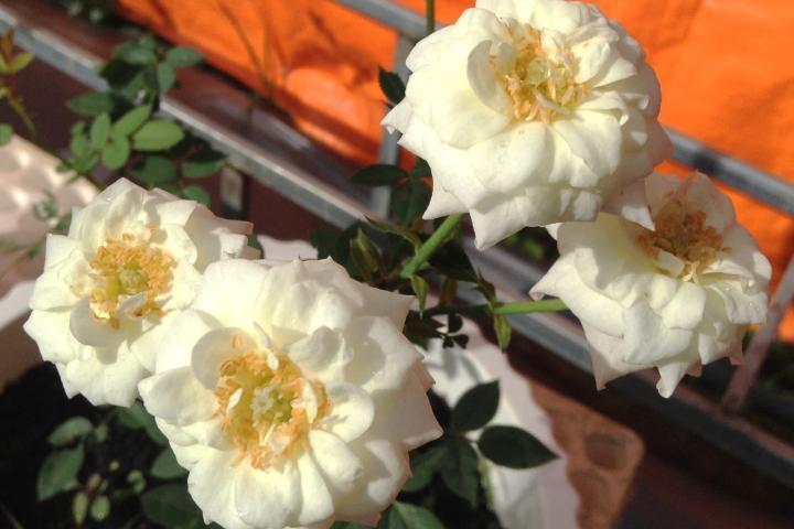 Hoa hồng tiểu muội  - 0