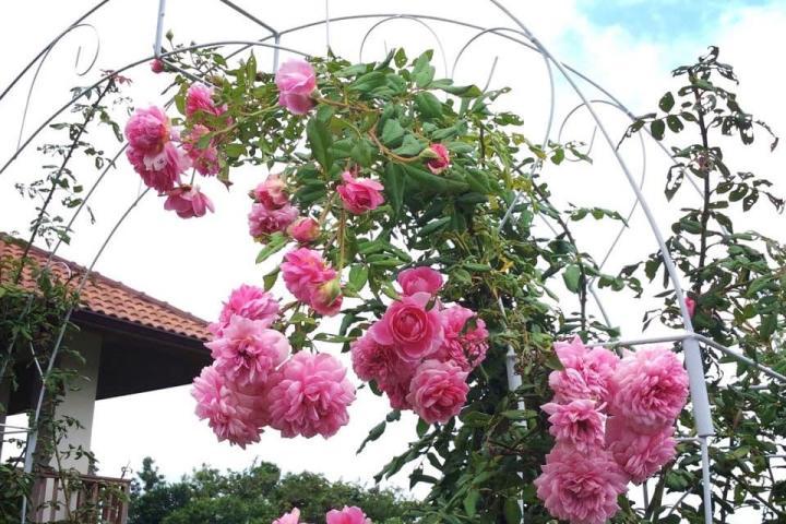 Hoa hồng Huntington - 0